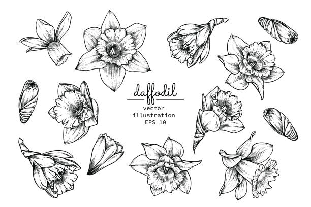 Print Sketch Floral Botany Collection. Daffodil or Narcissus flower drawings. Black and white with line art on white backgrounds. Hand Drawn Botanical Illustrations.Vector. daffodil stock illustrations