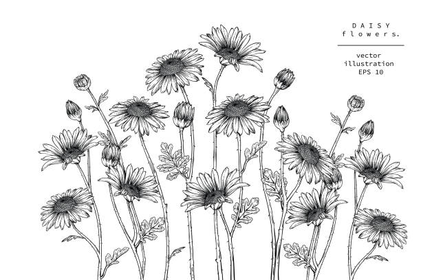 Print Sketch Floral Botany Collection. Daisy flower drawings. Black and white with line art on white backgrounds. Hand Drawn Botanical Illustrations. trillium stock illustrations
