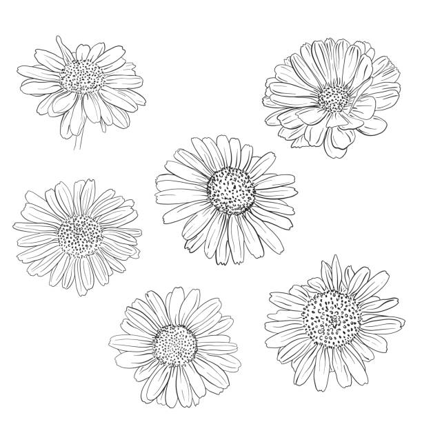 Print Daisy hand drawn sketches set. Vector llustration. daisy stock illustrations