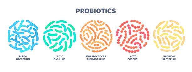 Probiotics. Lactic acid bacterium. Bifidobacterium, lactobacillus, streptococcus thermophilus, lactococcus Probiotics. Lactic acid bacterium. Bifidobacterium, lactobacillus, streptococcus thermophilus, lactococcus, propionibacterium. Microbiome. Microbiota. Bacteriology. Gastrointestinal health. Vector bifidobacterium stock illustrations