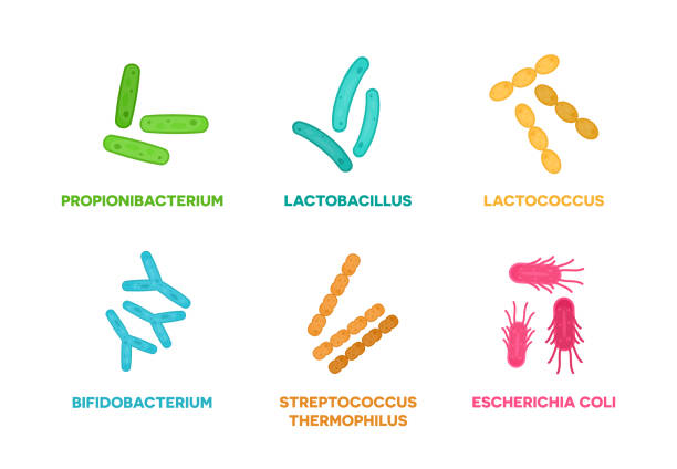 Probiotics. Set of good bacteria and microorganisms concept isolated on white background. Propionibacterium, lactobacillus, lactococcus, bifidobacterium, streptococcus thermophilus, escherichia coli Vector illustration flat design of good bacteria and microorganisms concept isolated on white background. lactobacillus stock illustrations
