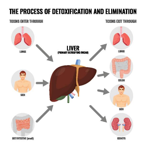prozess der entgiftung und beseitigung cartoon medizinische poster - stoffwechsel stock-grafiken, -clipart, -cartoons und -symbole