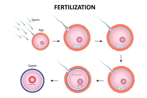 Process of human fertilization Process of human fertilization, sperm and egg cell sperm stock illustrations