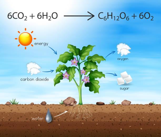 ein prozess der baum produzieren sauerstoff - stoffwechsel stock-grafiken, -clipart, -cartoons und -symbole