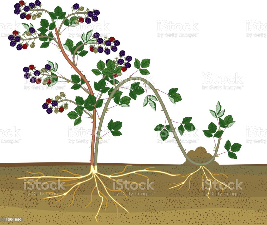 Propagation By Layering Blackberry Plant Vegetative Reproduction Scheme Isolated On White Background Stock Illustration Download Image Now Istock