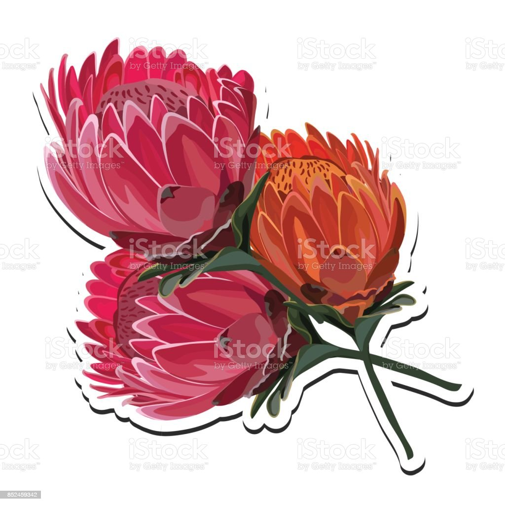 Protea Bouquet Vector Illustration vector art illustration