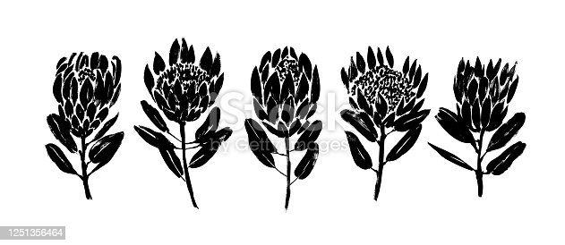Protea flowers hand drawn vector set. Collection of hand drawn illustrations, cliparts. Protea flowers, buds and leaves in different angles. Grunge dry paint brush strokes on white background.