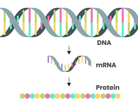 Protein syntesis schematic illustration. Illustration of the DNA, mRNA and polypeptide chain isolated on white
