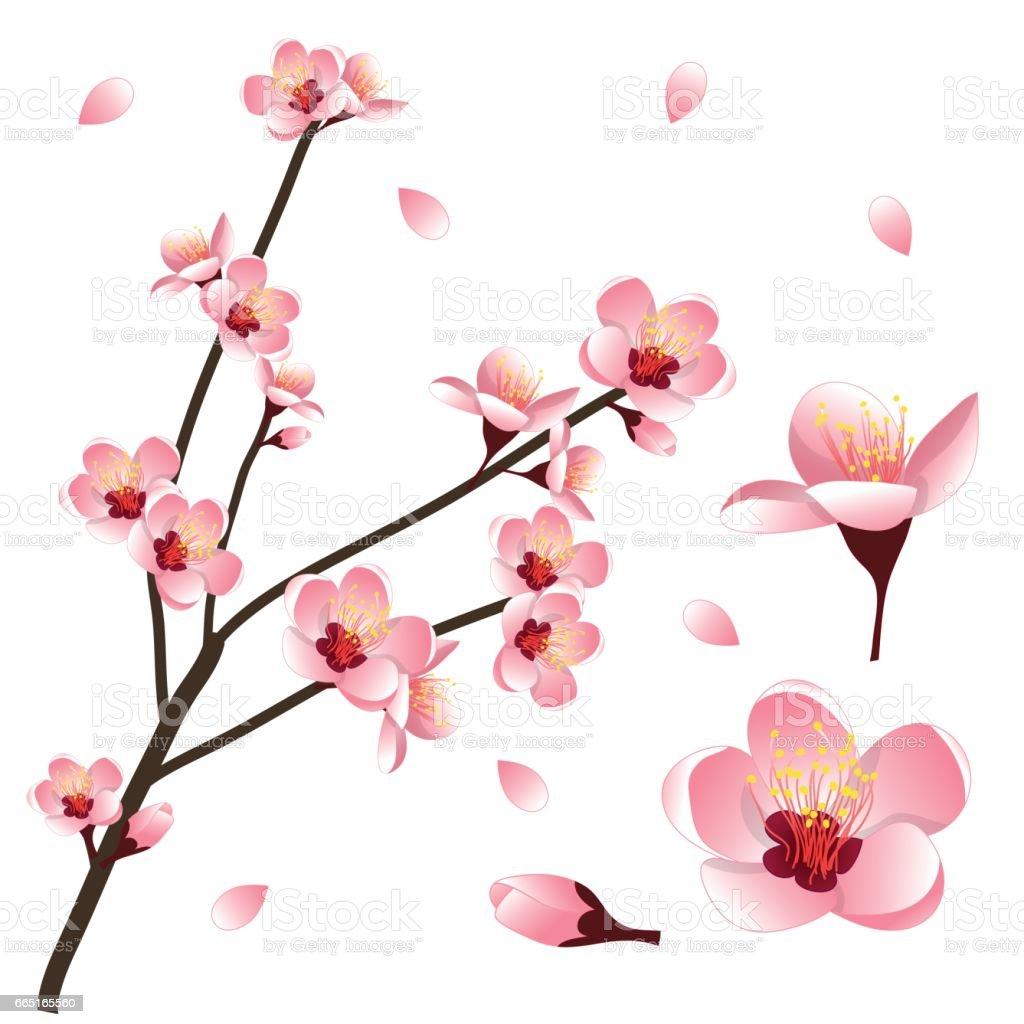 Prunus persica - Peach Flower Blossom. Vector Illustration. vector art illustration