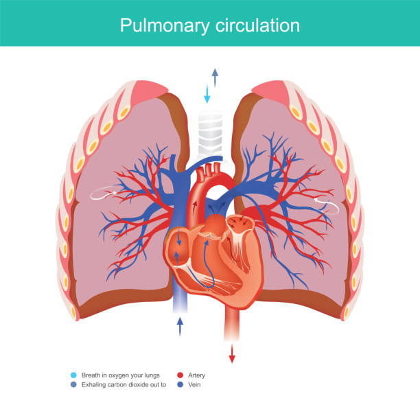 Pulmonary circulation. Explain working duty for the heart and lungs apply oxygen gas from the environment into the blood system in the human body and out carbon dioxide into the environment. alveolar duct stock illustrations