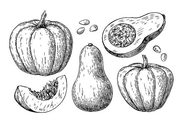 pumpkin and butternut squash vector drawing set. isolated hand d - flaschenkürbis stock-grafiken, -clipart, -cartoons und -symbole