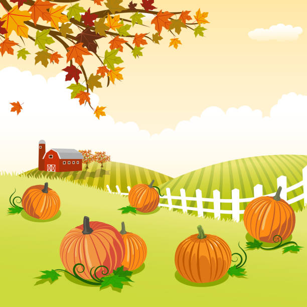 Pumpkin patch Pumpkin patch in autumn. harvesting stock illustrations