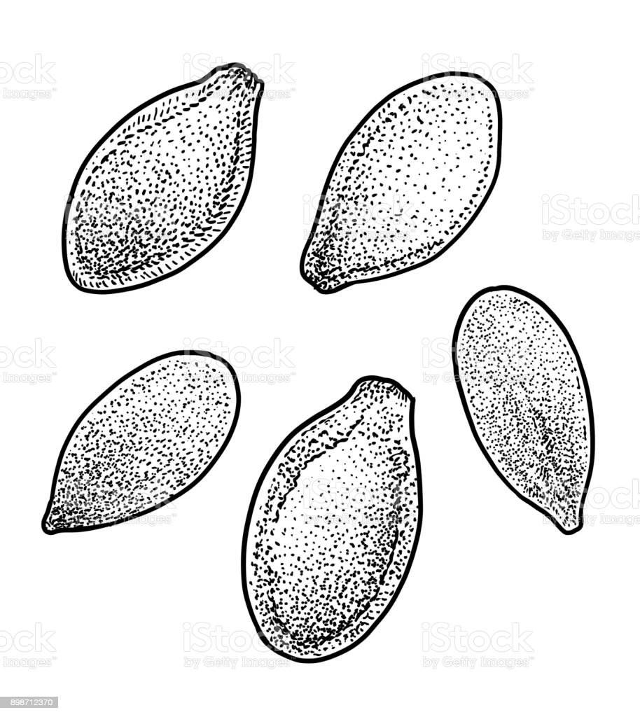 Pumpkin seed illustration drawing engraving ink line art for Pumpkin seed coloring page