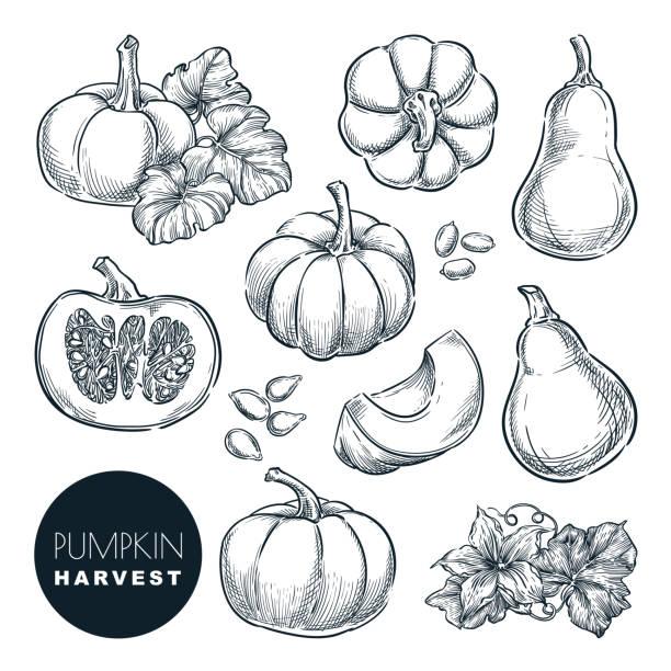 stockillustraties, clipart, cartoons en iconen met pompoenen schets vector illustratie. herfst kalebas oogst. hand getekende landbouw, boerderij geïsoleerd ontwerpelementen - squash komkommerfamilie