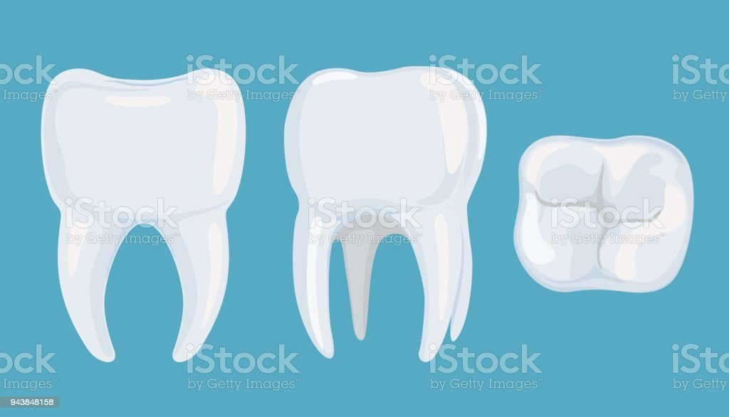 Pure Root Tooth From Different Sides Vector Illustration Stock