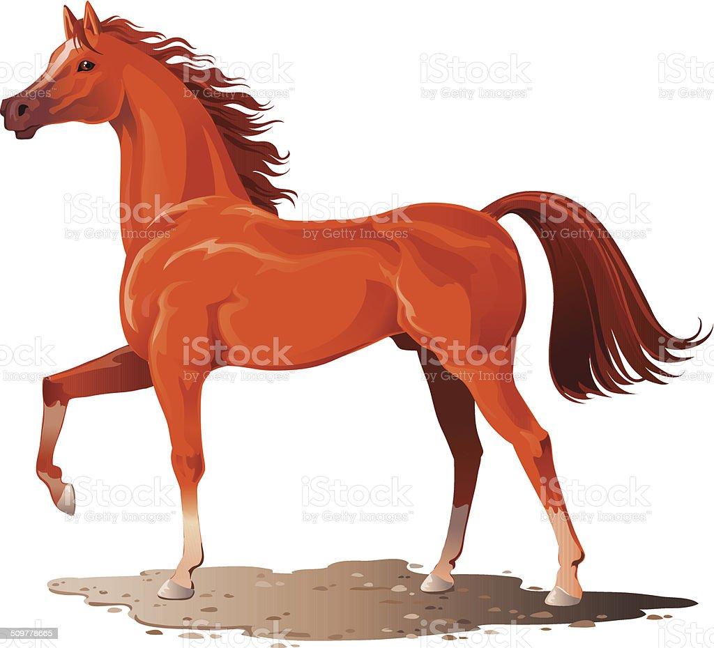 Purebred Arabian Horse vector art illustration
