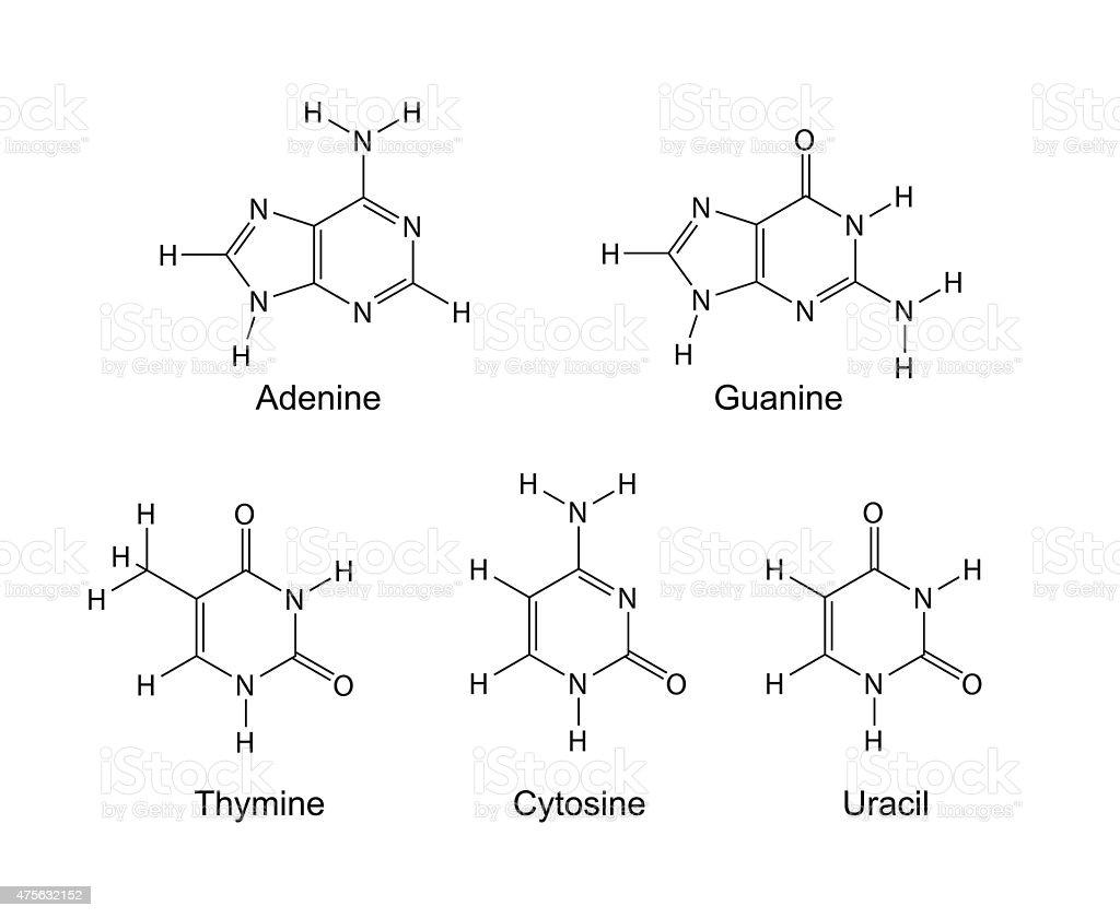 purine と pyrimidine nitrogenous ベースの骨格化学式 2015年の