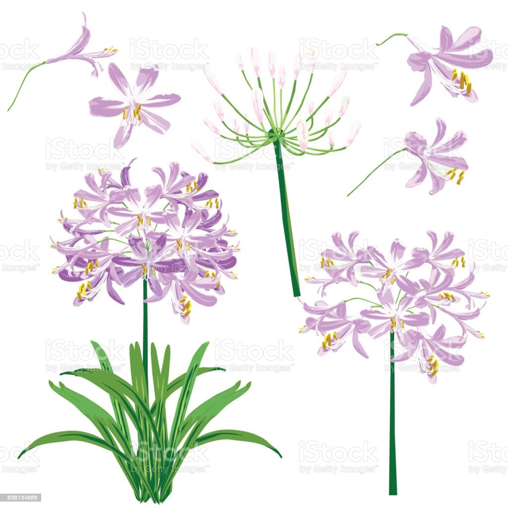 Purple agapanthus flower spring for object. vector art illustration