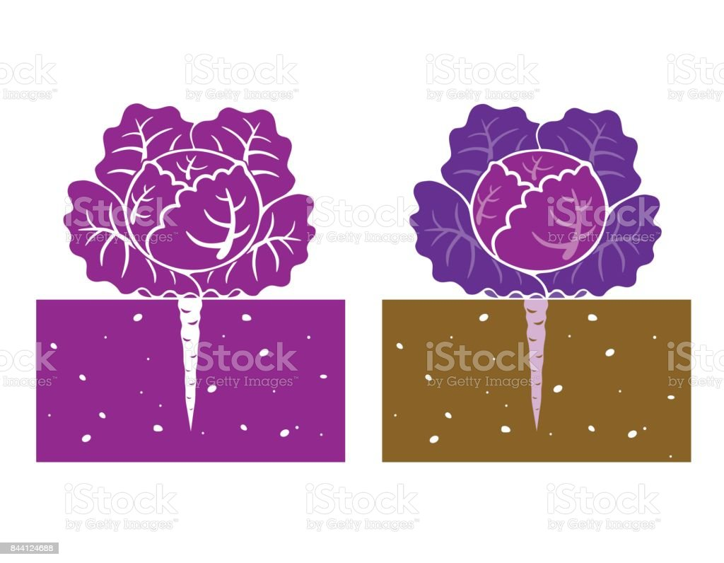 purple cabbage plant vector vector art illustration
