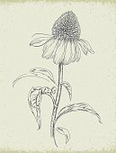 Hand drawn Purple Coneflower Echinacea Flower with stem and leaves. Vector pen or pencil drawing of an isolated single herbal plant on beige textured paper background. Realistic botanical illustration. Herbal Medicine Design element. Strokes are expanded and combined into one shape.