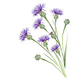 Purple cornflowers. Vector brush sketch  for greeting cards.