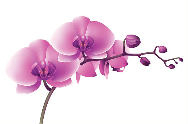Purple orchid Vectr illustration of orchid. ZIP includes large JPG (5000x3200px) PNG with transparent background. Global colors used. orchid stock illustrations