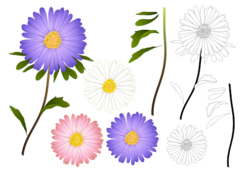 Purple, Pink and White Aster Flower Outline. isolated on White Background. Vector Illustration.
