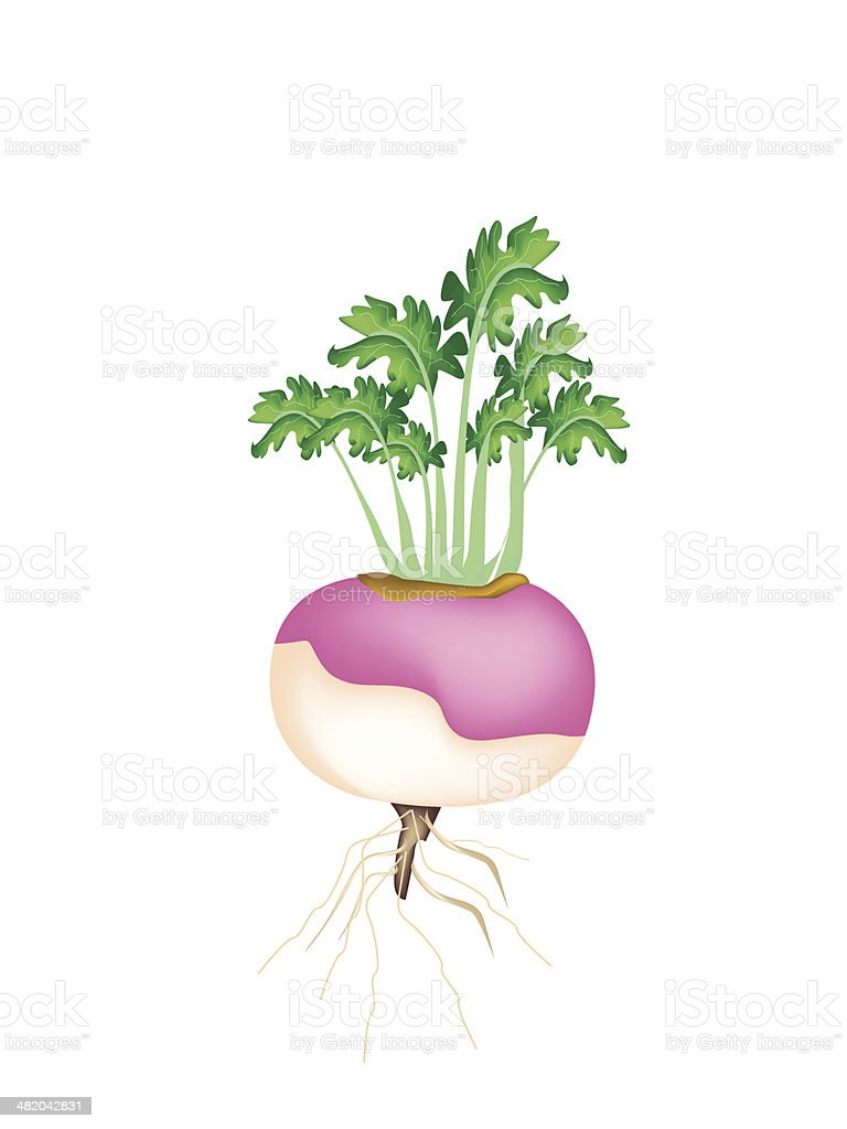 Purple Turnip on A White Background vector art illustration