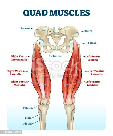 Quad leg muscles anatomy labeled diagram, vector illustration fitness poster. Sports physiotherapy educational information. Healthy muscular structure and bones. Vastus femoris, lateralis and medialis