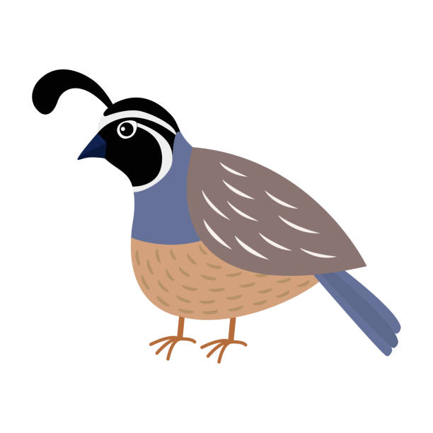 Best California Quail Illustrations, Royalty-Free Vector ...