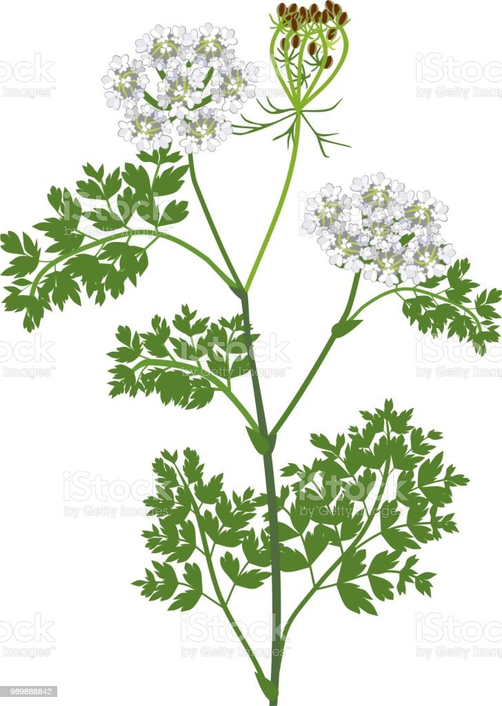 queen anne's lace tattoo arm - Google Search | Lace flower tattoos, Lace  drawing, Lace tattoo
