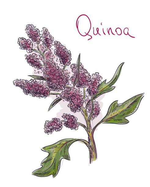 ilustrações de stock, clip art, desenhos animados e ícones de quinoa, chenopodium quinoa, kinwɑ,  kɪnova, quechua kinwa, kinuwa. vector illustration. - quinoa