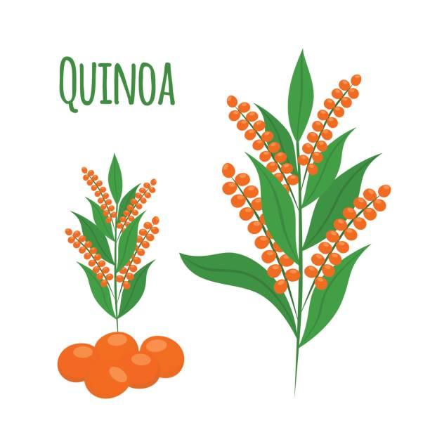 ilustrações de stock, clip art, desenhos animados e ícones de quinoa set. seeds, healthy quinoa vegetarian food. cartoon flat style. - quinoa