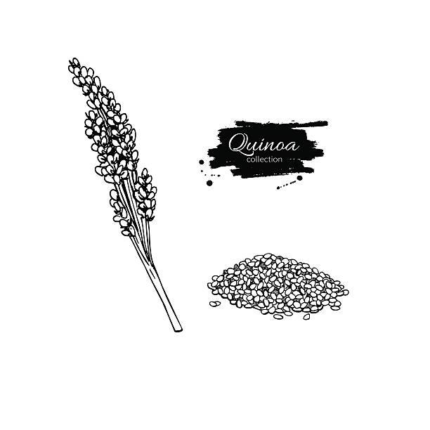 ilustrações de stock, clip art, desenhos animados e ícones de quinoa vector superfood drawing. isolated hand drawn  illustrati - quinoa