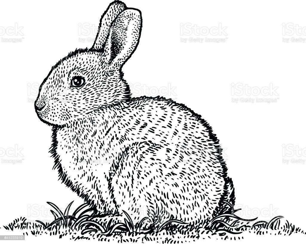 Line Drawing Rabbit : Rabbit bunny illustration engraving drawing line art stock