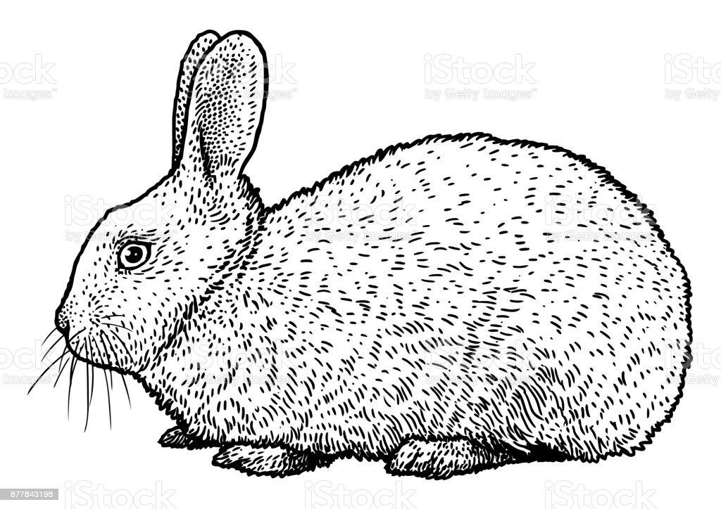 Illustration Dessin Gravure De Lapin Line Art Realiste Vector