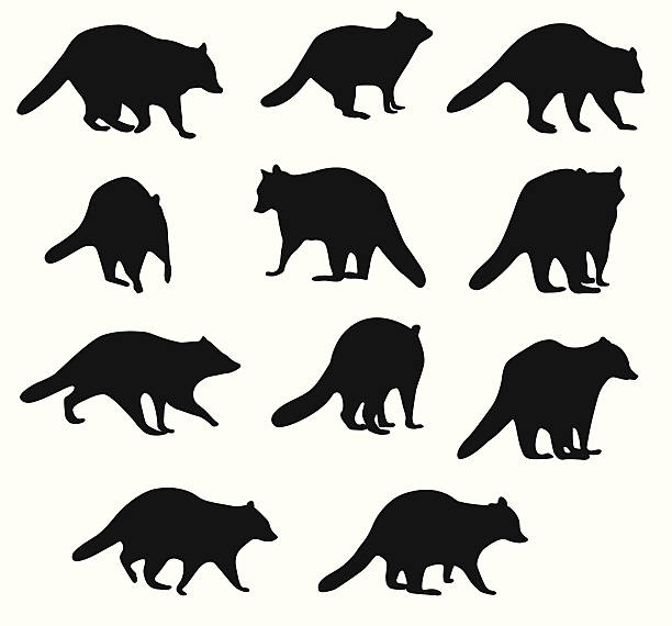 RaccoonBehavior raccoom traced at a variety of angles.  Real life creatures and behaviours. raccoon stock illustrations