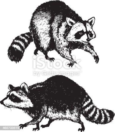 istock Raccoons 465703519