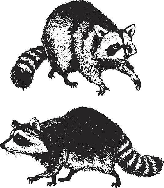 Raccoons Hand drawn raccoons. raccoon stock illustrations