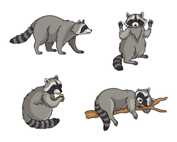 Racoons - vector illustration Racoons in different poses - vector illustration. EPS8 raccoon stock illustrations