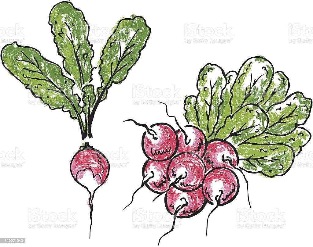 Radish and bunch of radishes royalty-free stock vector art