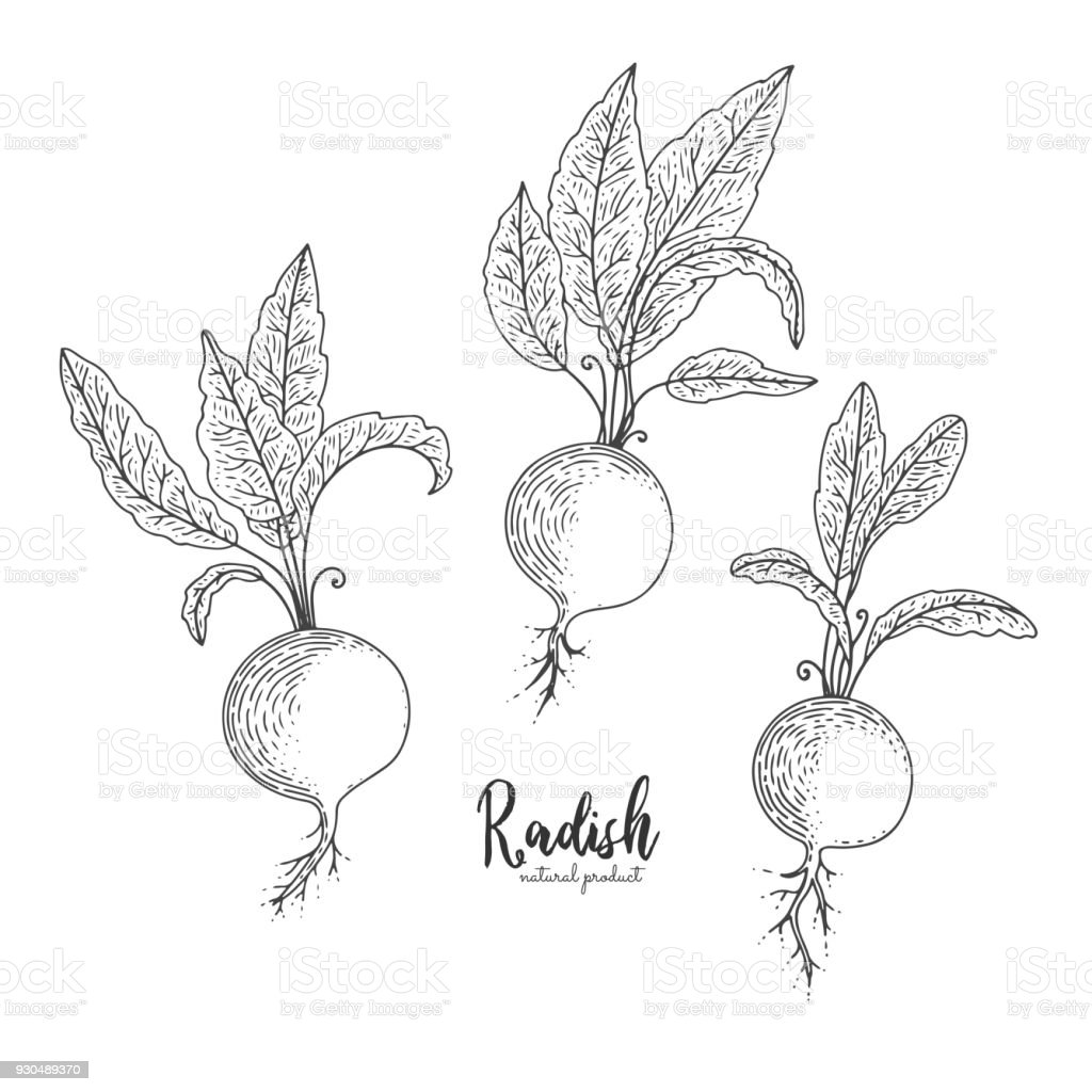 Radish hand drawn vector illustration. Isolated vegetable engraved style object. Detailed vegetarian food drawing. Farm market product. Great for menu, street festival, farmers market