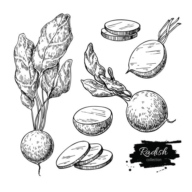 Radish hand drawn vector illustration set. Isolated Vegetable engraved style object with sliced pieces. Radish hand drawn vector illustration set. Isolated Vegetable engraved style object with sliced pieces. Detailed vegetarian food drawing. Farm market product. Great for menu, label, icon radish stock illustrations