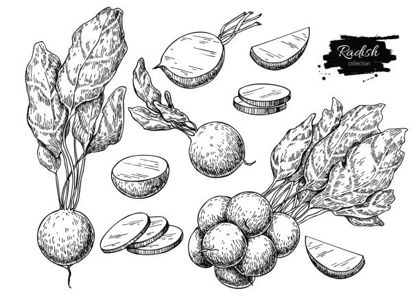Radish hand drawn vector illustration set. Isolated Vegetable engraved style object with sliced pieces. vector art illustration