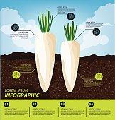 radish , infographics. vegetables vector illustration