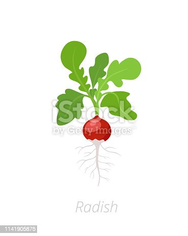 Radish plant. Raphanus raphanistrum. Radishes taproot. On white background. Salad vegetable. Agriculture cultivated plant. Green leaves. Flat vector color Illustration clipart on white background.