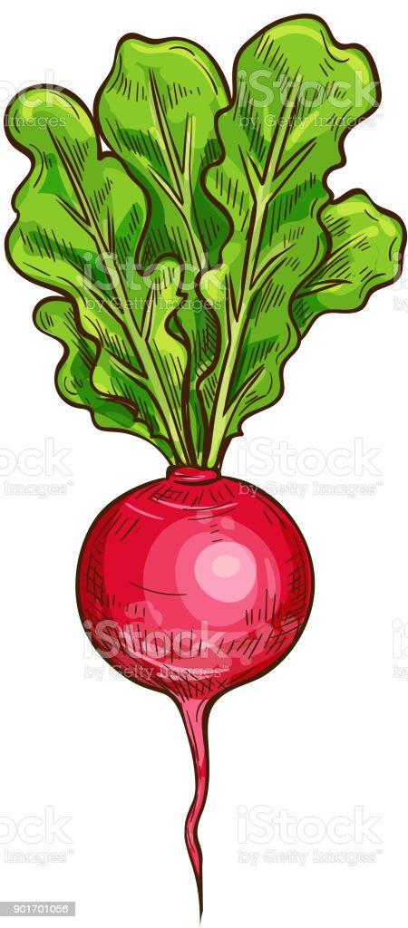 Radish vector sketch vegetable icon vector art illustration