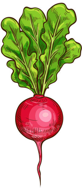 Radish vector sketch vegetable icon Radish sketch icon. Vector isolated symbol of fresh vegetable root of farm grown vegetarian radish or daikon for veggies salad or grocery store and market design radish stock illustrations