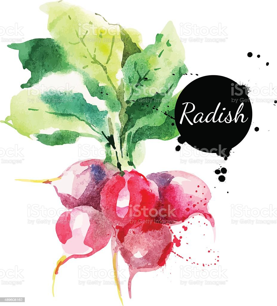 Radish with leaf. Hand drawn watercolor painting on white backgr vector art illustration