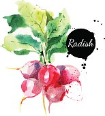 Radish with leaf. Hand drawn watercolor painting on white backgr